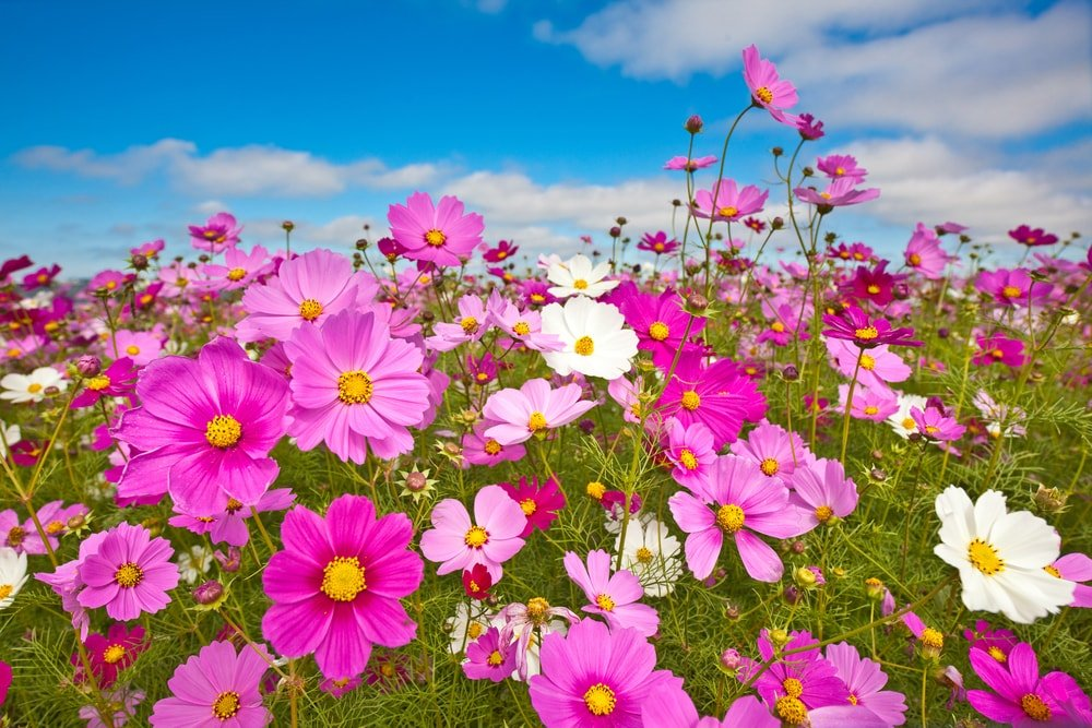 A field of colorful cosmos flowers.