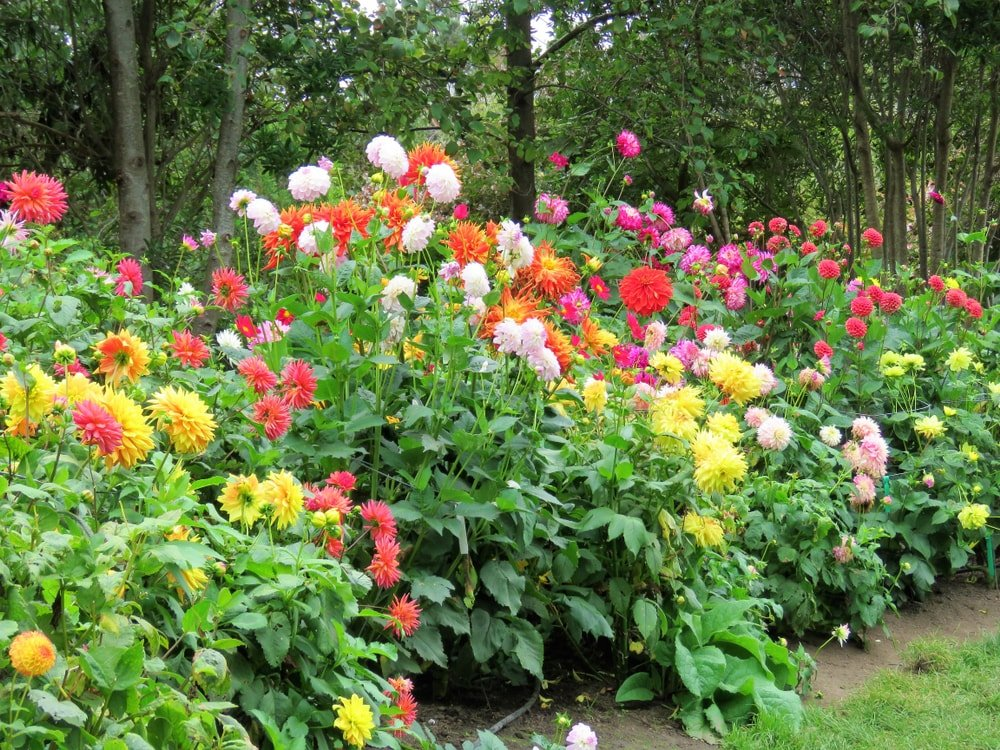A garden filled with colorful dahlias.