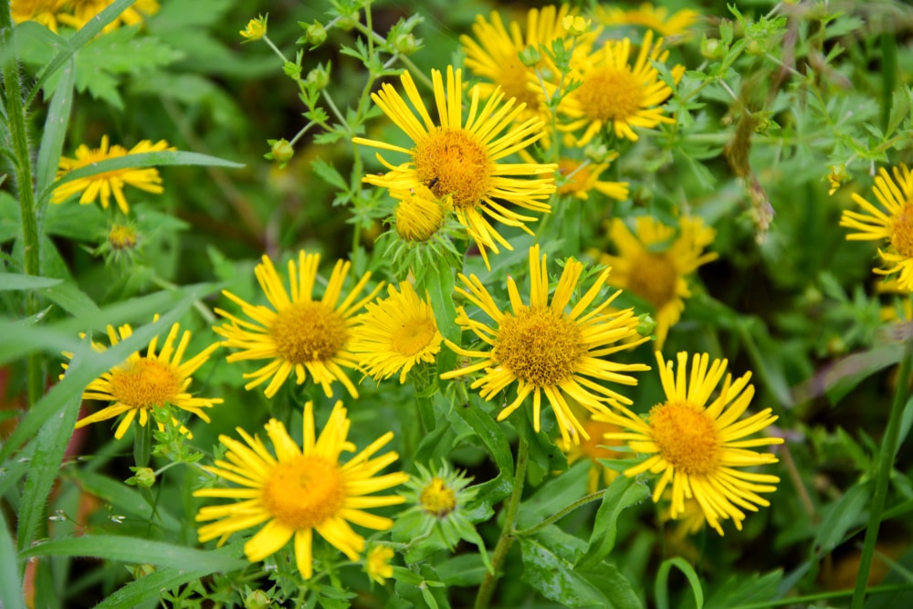 A look at sunny yellow elecampane flowers.