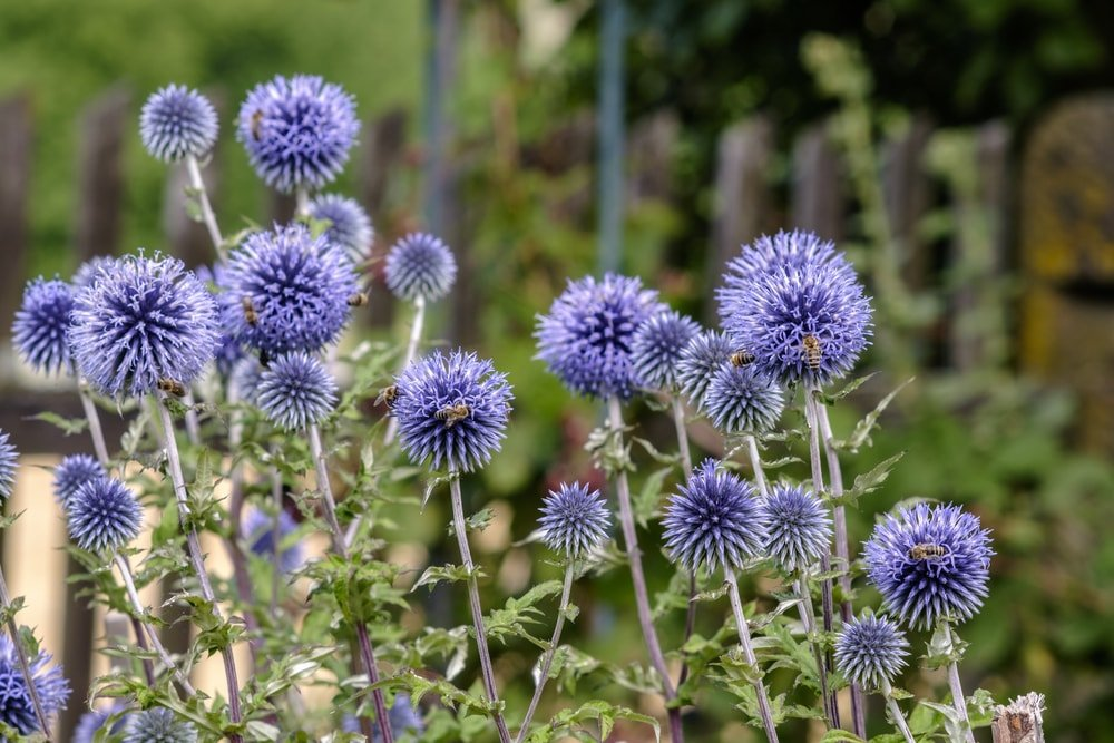 A look at clusters of deep purple globe thistle flowers.