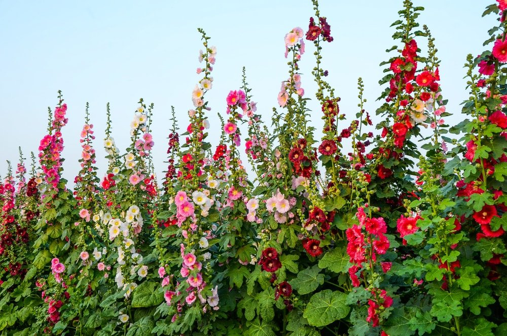 A garden filled with colorful hollyhock flowers.