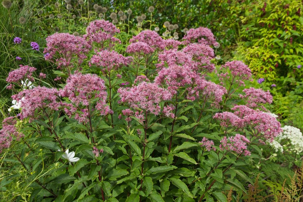 A cluster of colorful joe-pye weed.