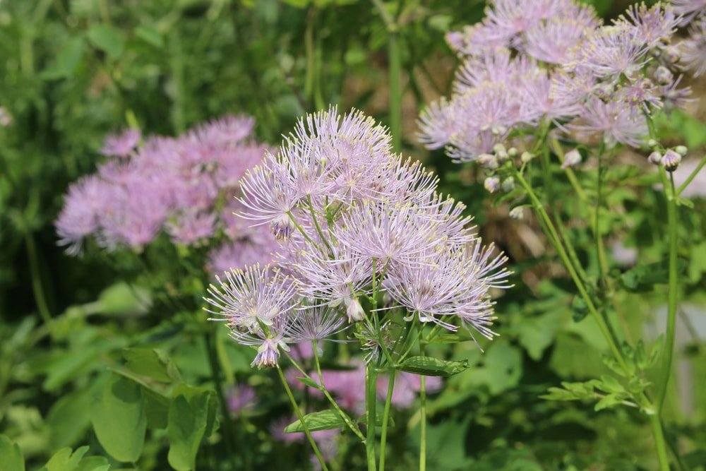 A close look at a cluster of meadow rue flower.