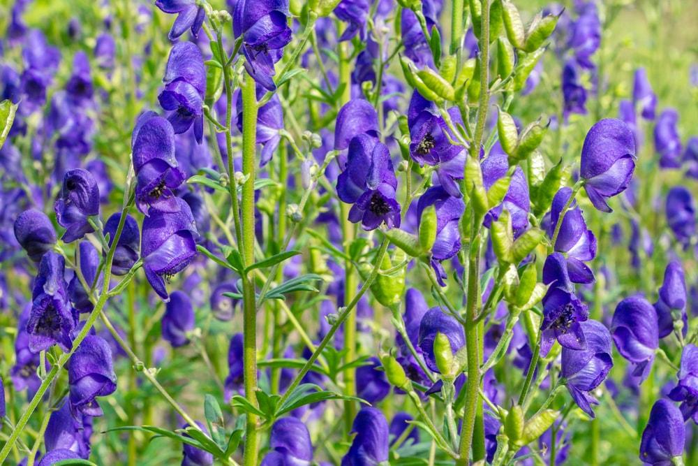 A garden of deep purple monkshood.