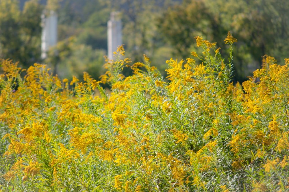 A bunch of sunny native goldenrod flowers.