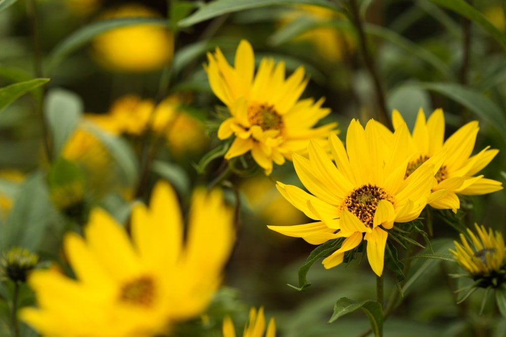 Perennial sunflowers in bloom.