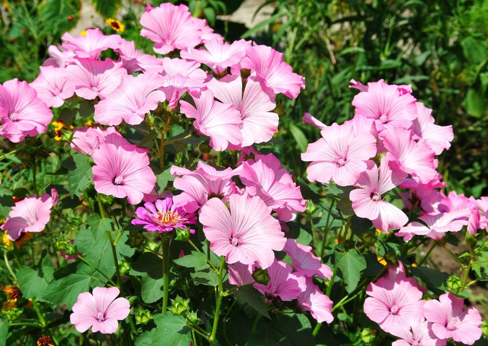 A shrub filled with pink rose mallow flowers in bloom.