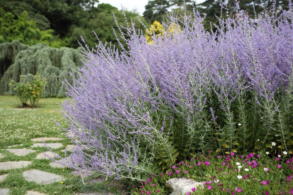 Thick clusters of russian sage in the garden.