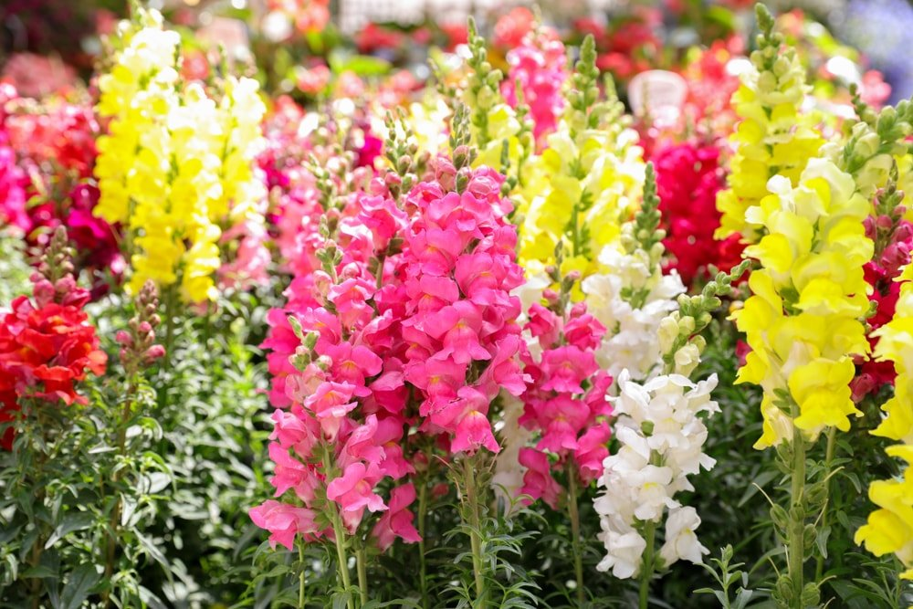 A cloe look at a bunch of colorful snapdragon flowers.