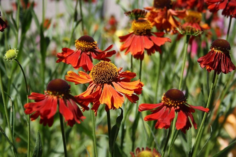 Clusters of deep earthy orange sneezeweed flowers.