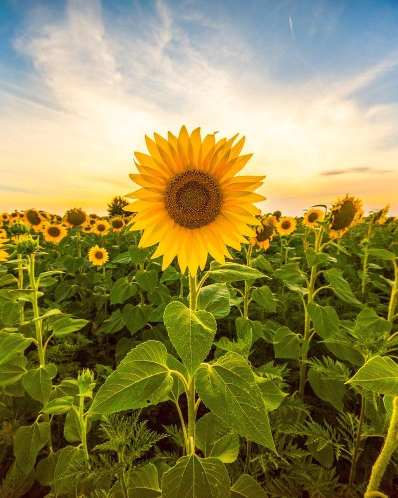 A sunflower field bathed in sunlight.