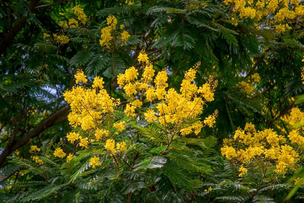 A close look at a blooming tree senna with yellow flowers.