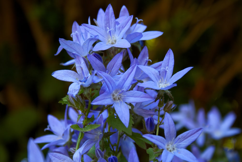A close look at a cluster of Adriatic Bellflower blooming.