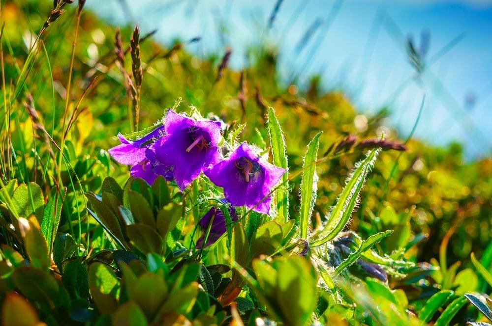 A cluster of Alpine Bellflower in bloom.