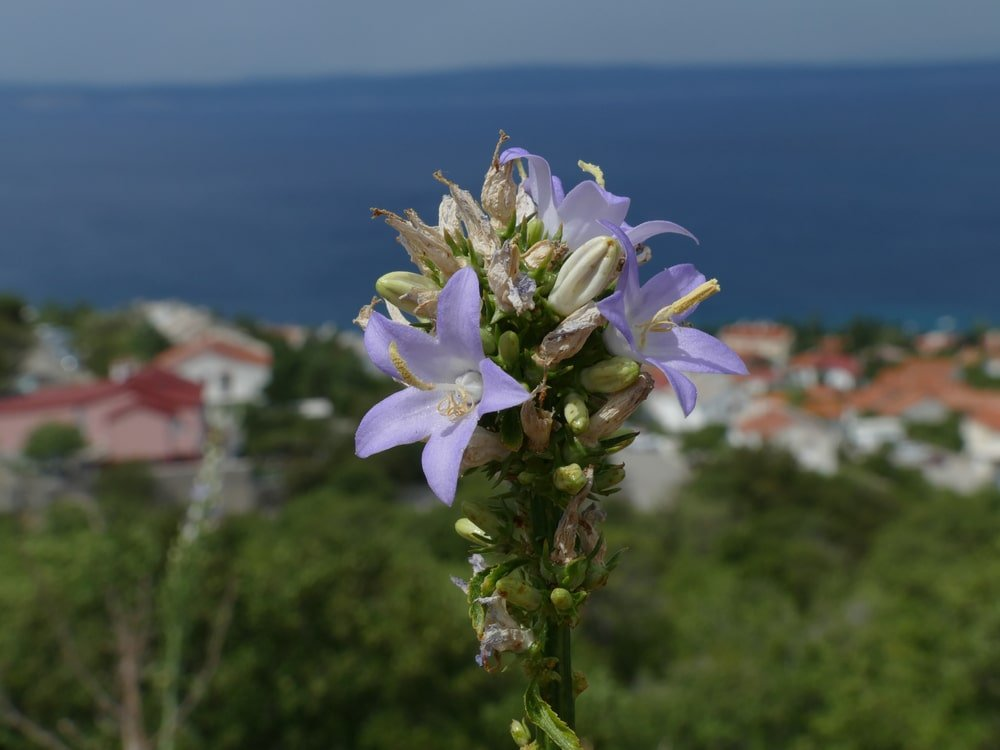 A close look at a cluster of Chimney Bellflower.