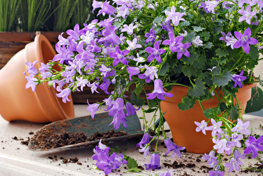 A look at a potted Dalmatian Bellflower.