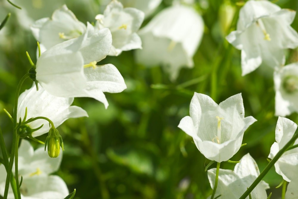 A close look at white Dwarf Bellflowers.