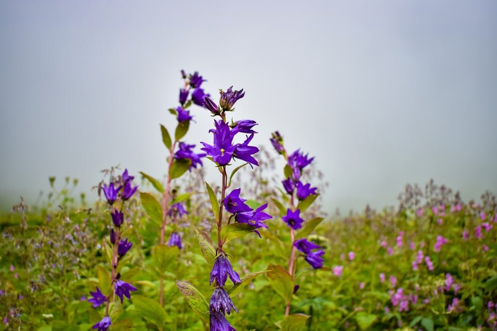 A look at clusters of deep purple Large Campanula.