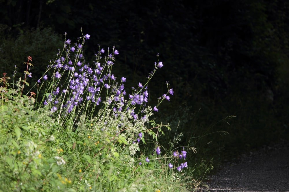 Clusters of Marsh Bellflower growing by the road.