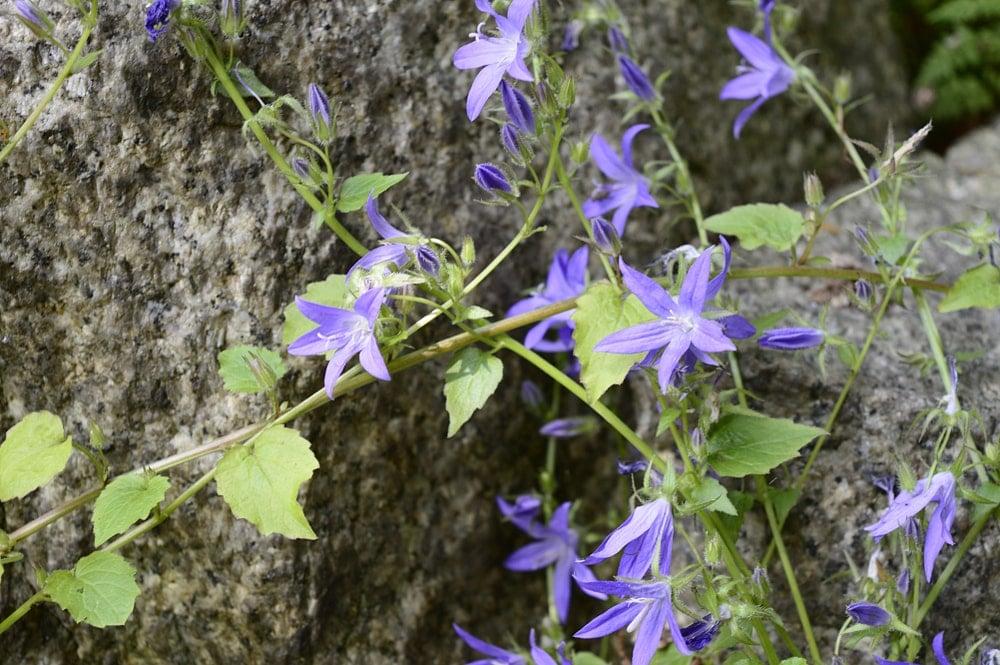 A cluster of blooming Serbian Bellflower.