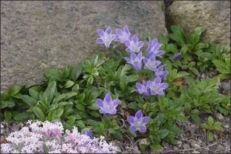 A cluster of Shiny-Leaved Bellflower.