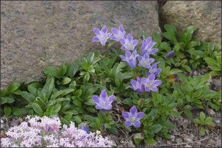 A cluster of Shiny-Leaved Bellflower.