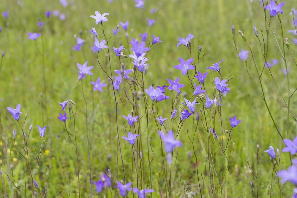 A garden filled with Spreading Bellflower.