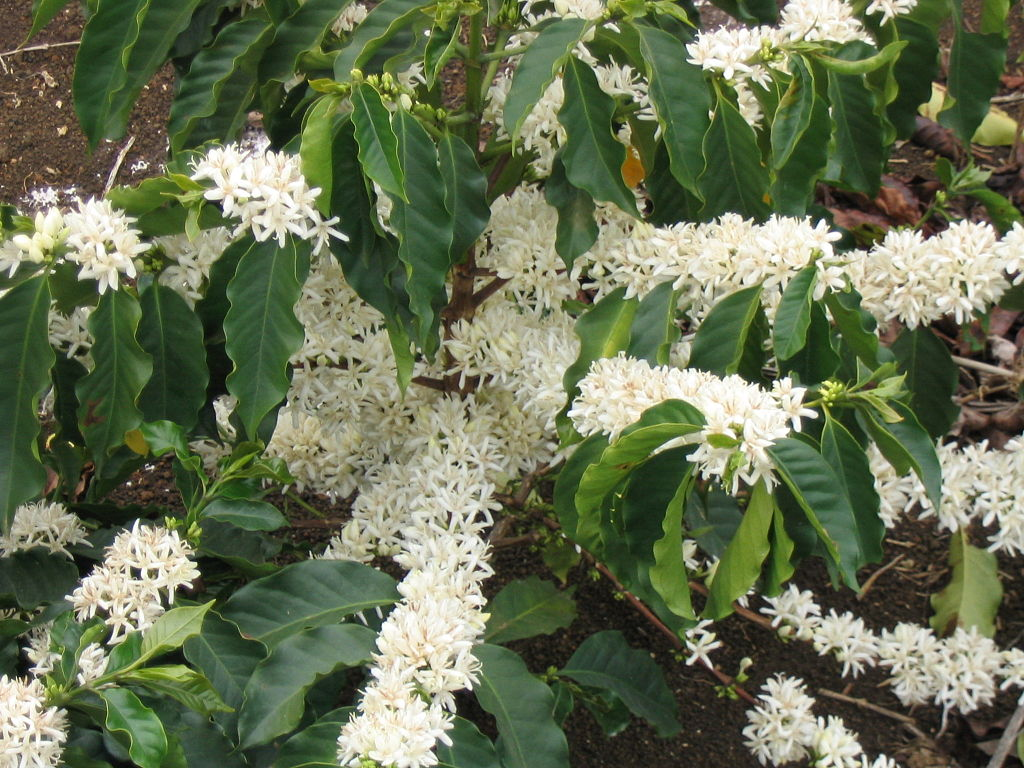 A cluster of blooming coffee plant.