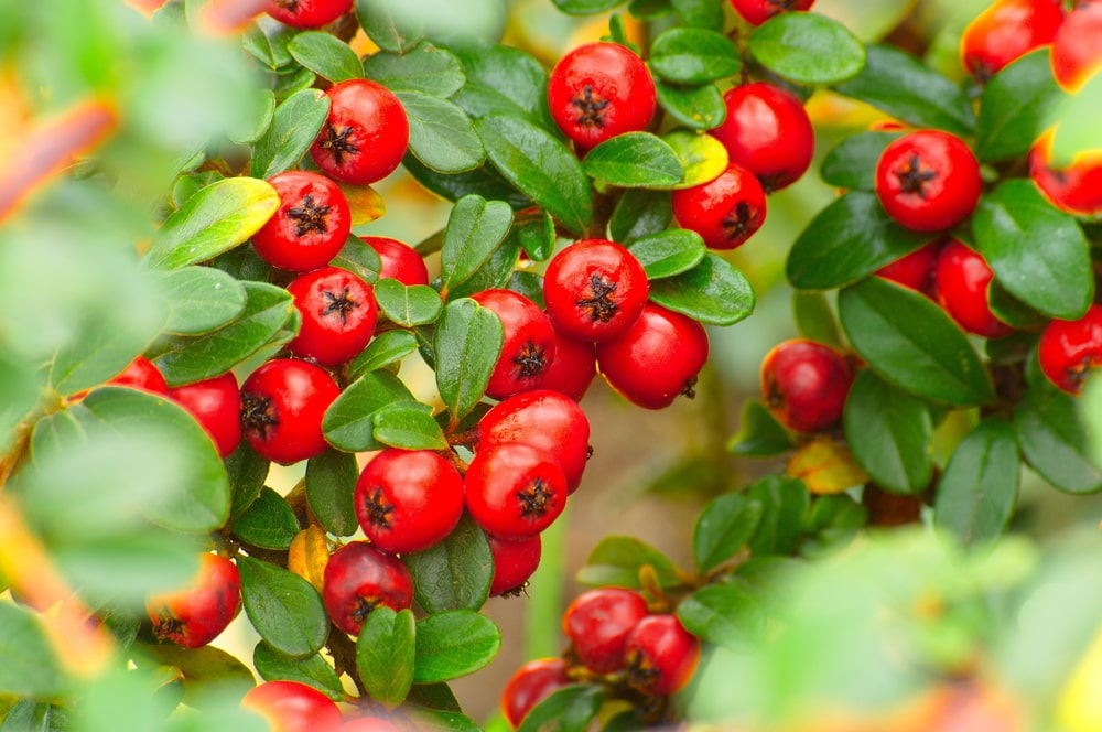 A look at vibrant clusters of cotoneaster.