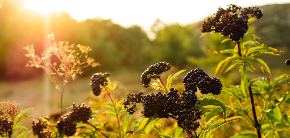 Clusters of Elderberry  bathed in sunlight.