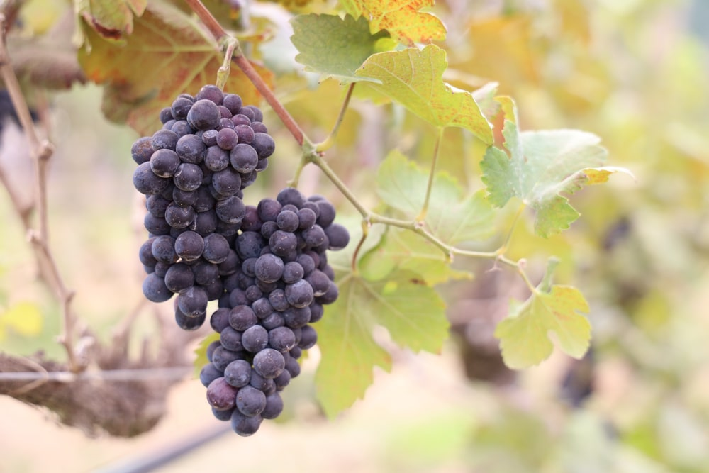 A couple of clusters of ripe grape.