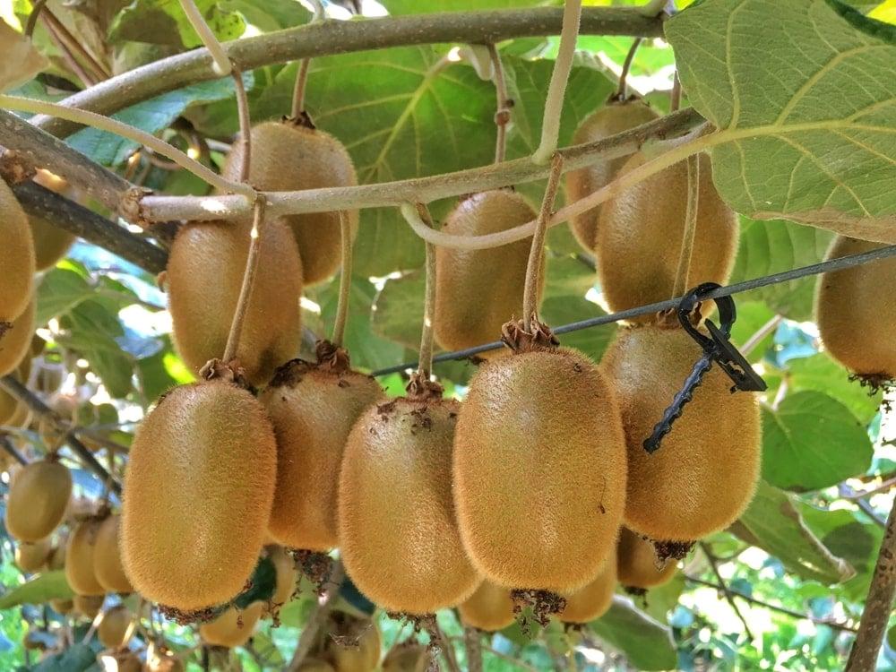 A cluster of ripe Kiwi.