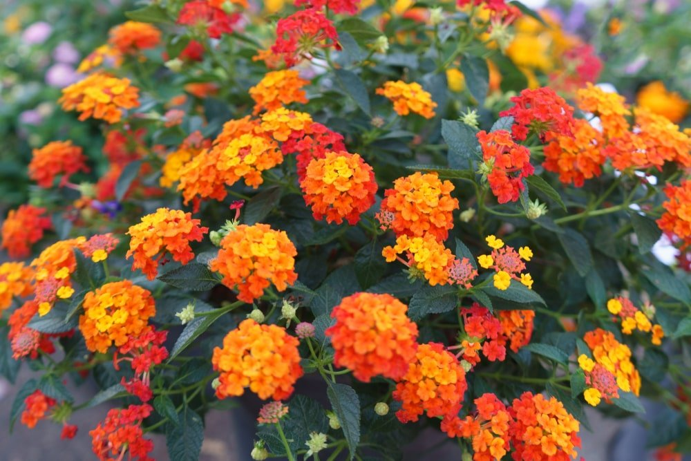 Clusters of colorful Lantana flowers.