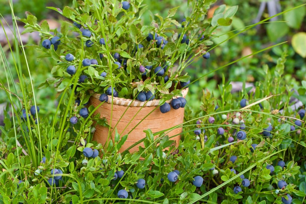 A close look at a potted Bilberry.