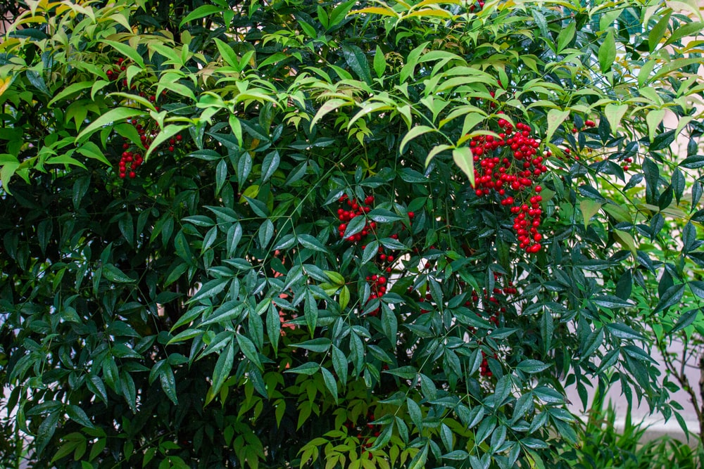 A Nandina shrub with clusters of berry.