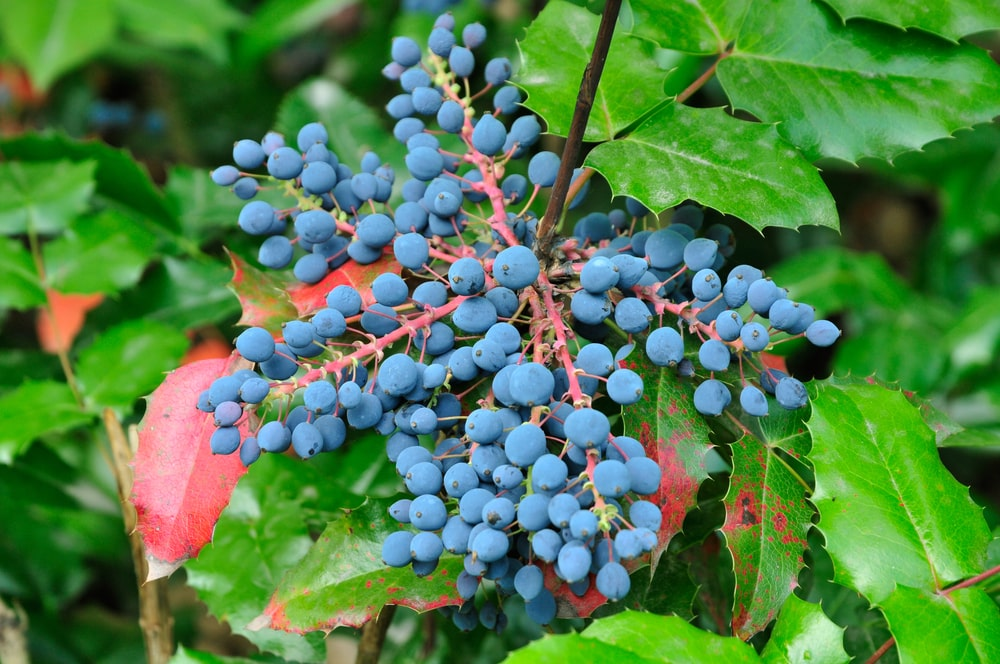 Clusters of bluish Oregon Grapes.