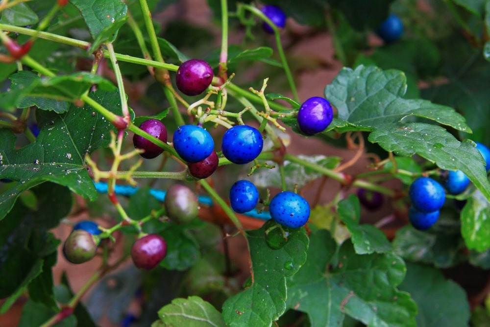 A close look at colorful Porcelain Berries.