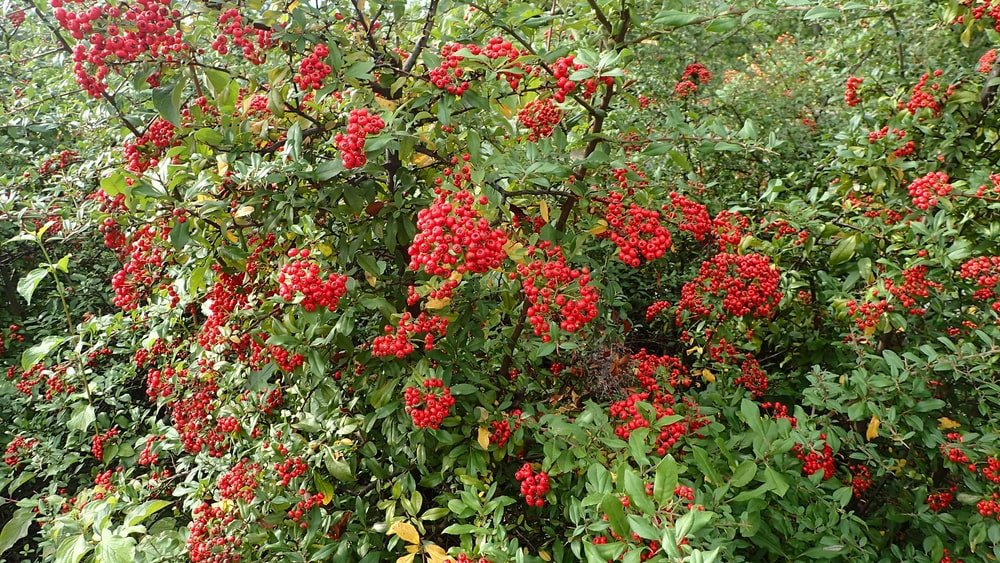 Clusters of vibrant Pyracantha berries.