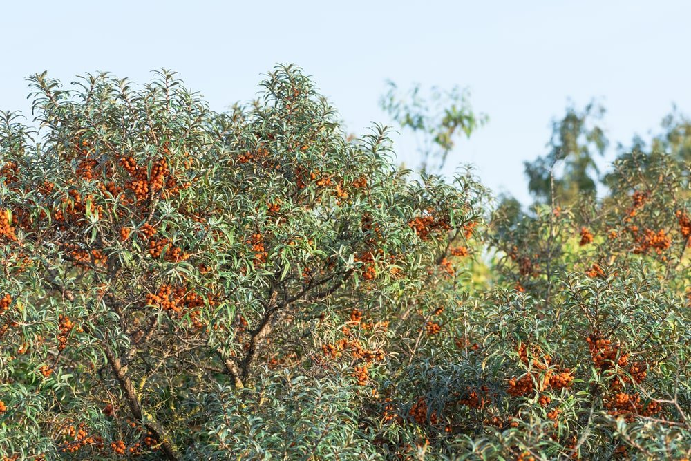 A colorful Sea Buckthorn tree.