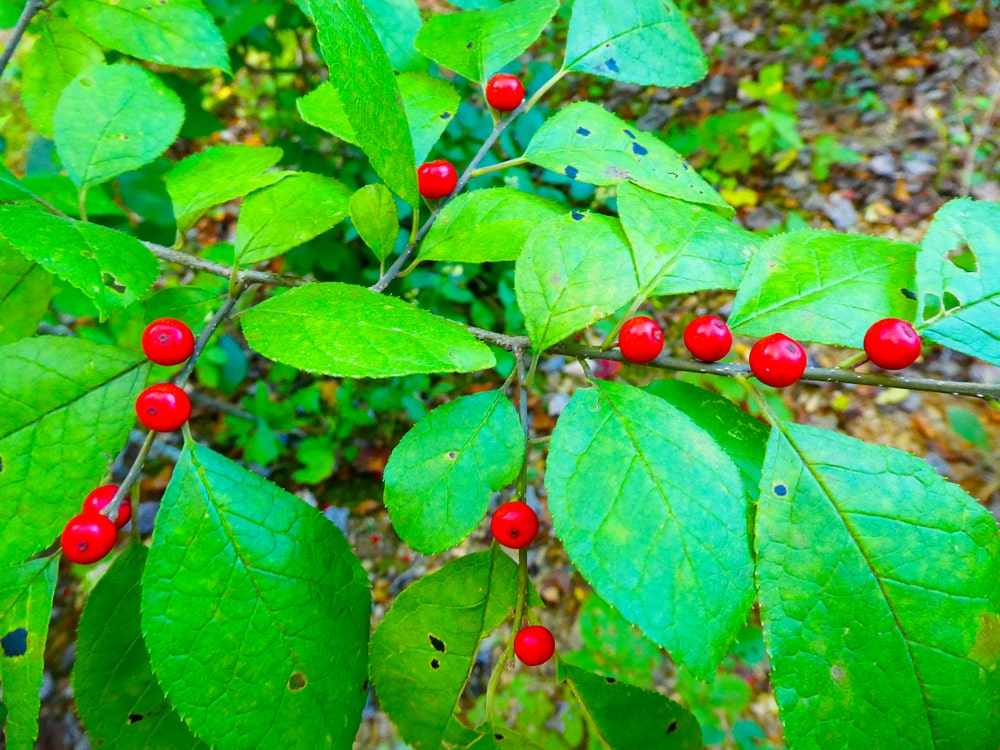 A Spicebush plant with vibrant berries.