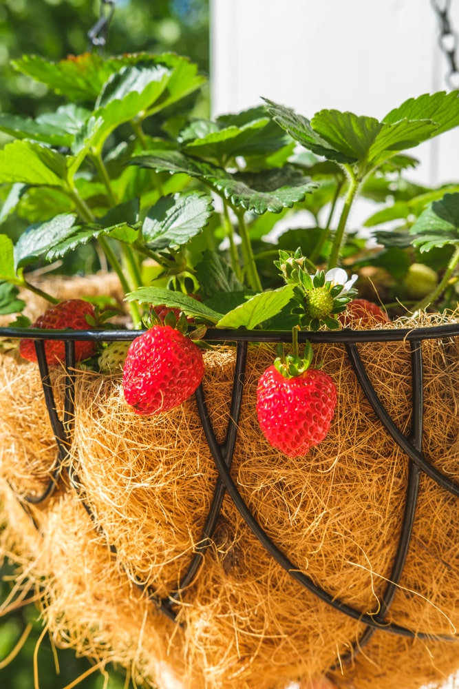 A look at a Strawberry plant with ripe berries.
