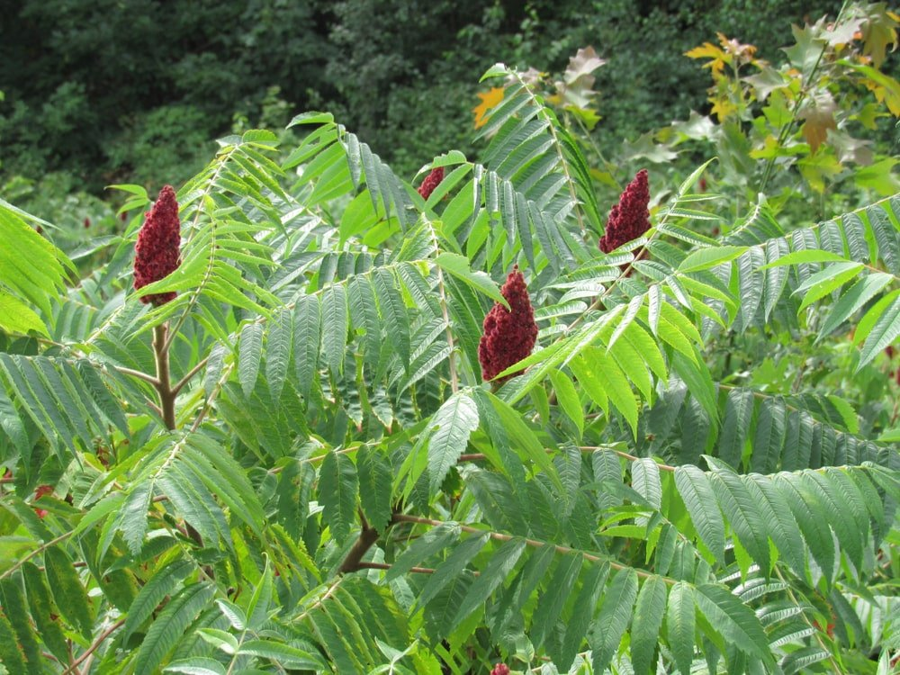 Clusters of Sumac in bloom.