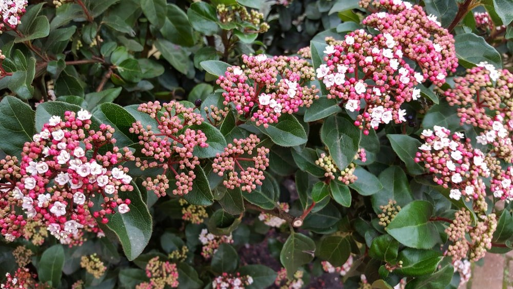A close look at a Viburnum shrub.