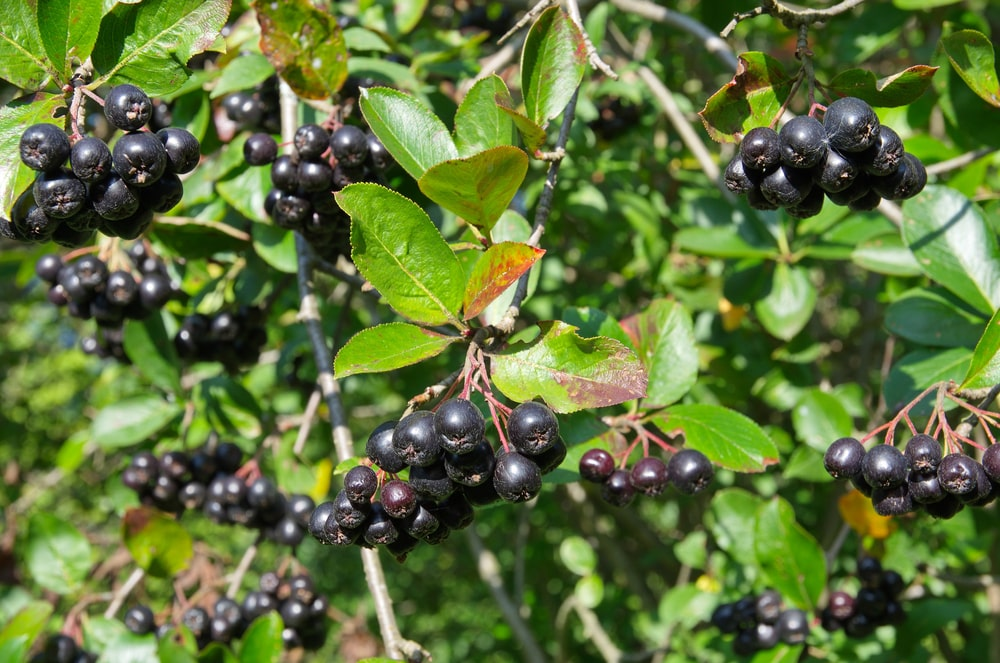 A close look at a chokeberry tree.