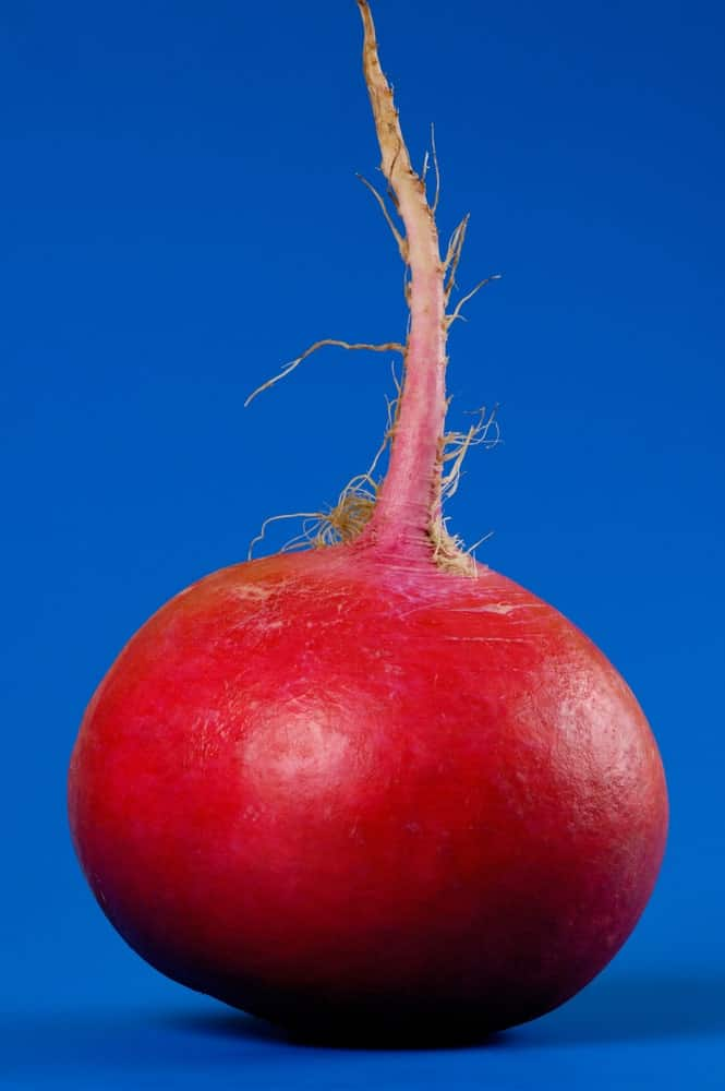 Crimson Giant radish against a blue background.