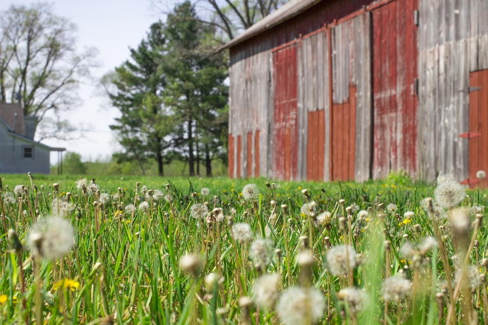 Dandelions beside a farmhouse.