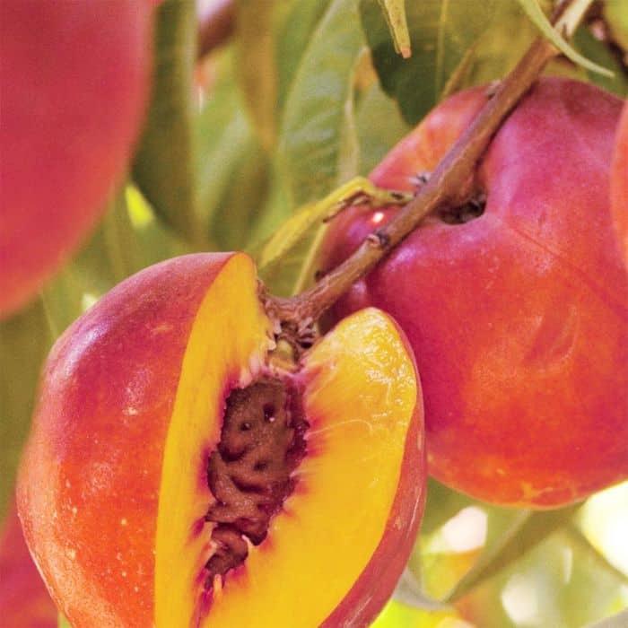 Double delight nectarines