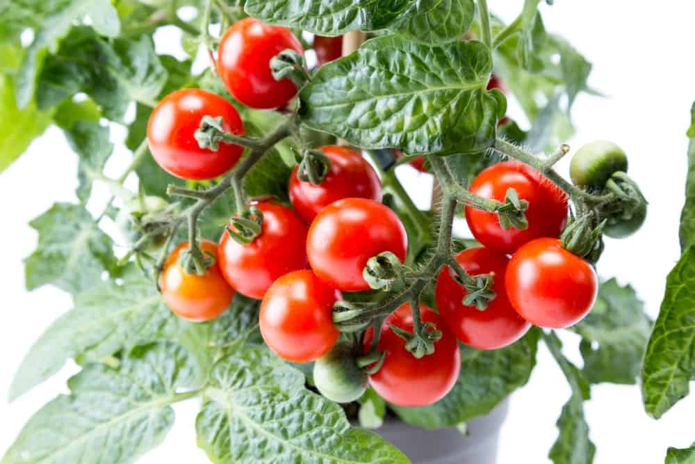 Evergreen tomatoes