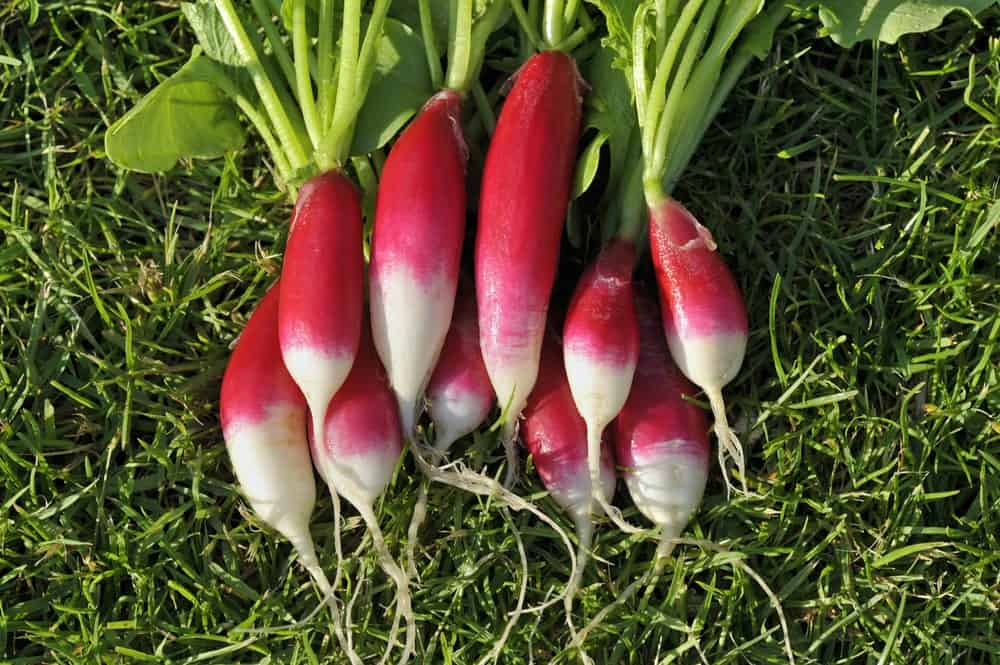 French Breakfast radishes on grass.
