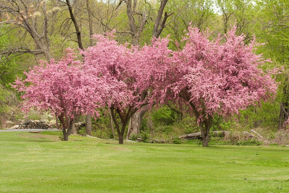 Three blossoming Crabapple Trees.